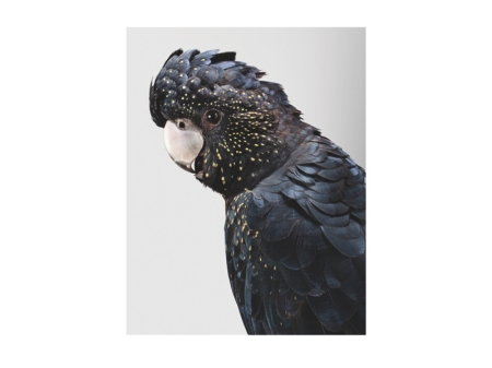 Leila Jeffreys, 'Nora, Red-Tailed Black Cockatoo' , 2012, photograph on archival fibre based cotton rag paper, 112 x 90cm